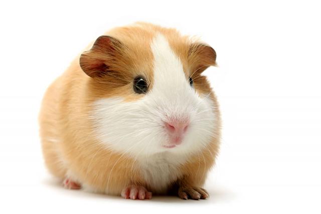 Guinea pig tan