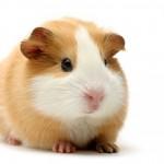 guinea-pig-tan